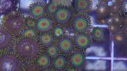 Aquarien Meerwasser Ableger Zoas Weichkorallen