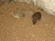 1 Paar Zwergwachteln Zwergwachtelpaar chinesische