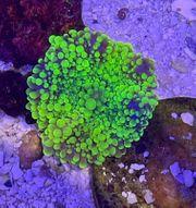 Meerwasser Koralle Ricordea yuma toxic