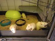 Ratten Gruppe Vorarlberg