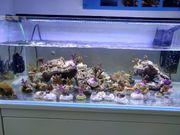 Meerwasser Korallenablegern