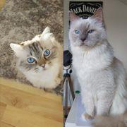 Zwei weiße Katzen Heilige Birma