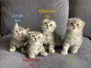 Wunderschöne BKH Kitten wie Whiskas