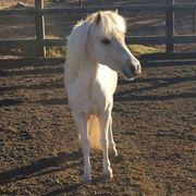 Mini Ponypferd