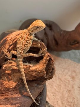 Reptilien, Terraristik - Bartagame Hypo Red Orange Leatherback