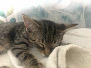 Baby Katzen abzugeben