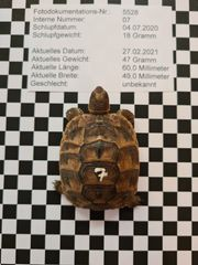 Maurische Landschildkröten TGI - Nachzuchten aus