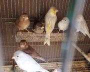 Ich verkaufe schöne Gloster Kanarienvögel