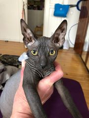 Canadian Sphynx Kitten Junge 3
