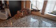 Norwegische Waldkatze michling mit Hauskater