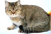 Wunderschöne BKH Katze 3 5