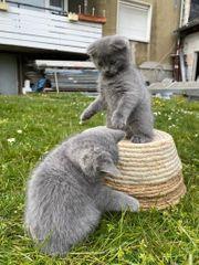 Brittische kuez haar katzen