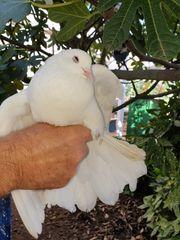 Tauben in Weiß