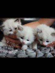 Ragdoll Kitten mit Stammbaum Ahnentafel