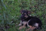 Schäferhund Mischlings Welpe Milly suchen