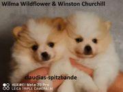 Pomeranian Welpen aus Deutscher Hobbyzucht
