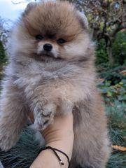 Pomeranian Zwergspitz Teddy Bär Welpen