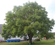 Baumpflege Sommerschnitt für ihren Walnussbaum