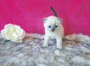Bkh Kitten blue point und