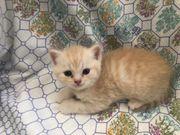 noch 2 süße BKH Kitten