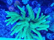 Acropora formosa Ableger