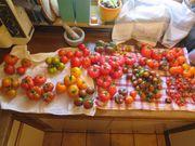 Tomaten-Jungpflanzen 50 besondere Sorten