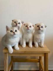 Wünderschone Kätzchen mit ausgezeichneten Stammbaum