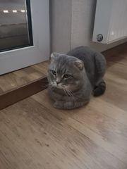 Erwachsener Brittischer Kater u Katze