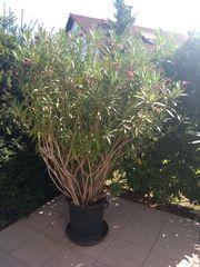 Oleander rot blühend 2 3m