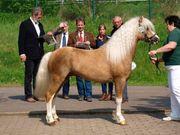 Deckanzeige Welsh A Pony Hengst