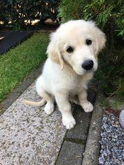 Golden Retriever weiß 4 Monate