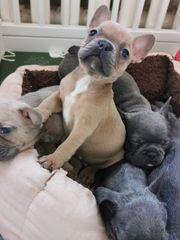 Französische Bulldogge Welpen Blue Fawn