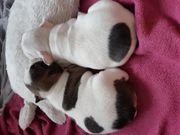 Franzosische Bulldogge Welpe