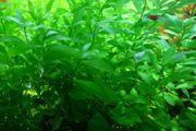 Kirschblatt kleinblättrig spec - dekorativ schnellwachsend