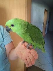 Superzahme Gelbnackenamazone Papagei