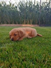 Süße Labrador Welpen foxred suchen