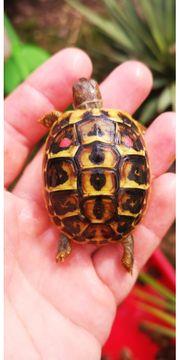 Testudo hermanni hermanni Griechische Landschildkröte