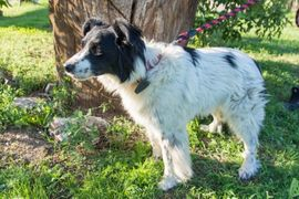 Hunde - DASTY Border Colli Mischling - verspielte