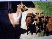 Kamerun Schafe zu verschenken