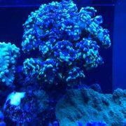Euphyllia LPS Korallen Korallen Ableger