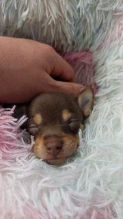 Mini mini Chihuahua nur noch