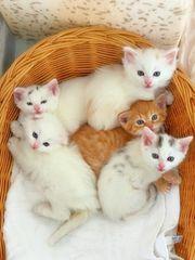 Highland Fold Kitten BKH Langhaar