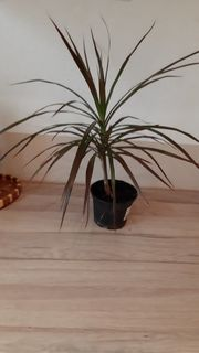 Palme Pflanze