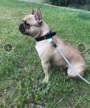 Französische Bulldogge 12 Monate