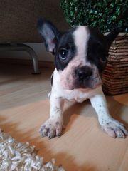 Französische Bulldogge - Rüde - Welpe