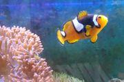 Meerwasser Fische Aquarium Clownfische Nemo