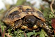 Griechische Landschildkröte NZ 2020 Schildkröte