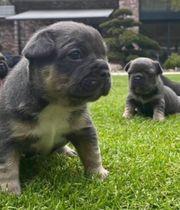 Französische Bulldoggen Welpen - Fluffy Träger