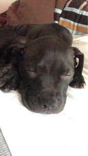 Pitbull Welpe 9 Wochen alt