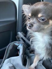 Chihuahua Deckrüde in Blue Tan